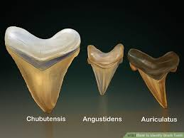 Shark Tooth Size Chart How To Identify Shark Teeth 15 Steps With Pictures Wikihow