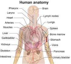 gallery diagram of human structure human anatomy diagram anatomy of human body muscles the human body parts