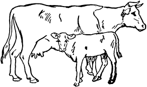 beef clipart black and white.  And Cow And Calf For Beef Clipart Black And White P