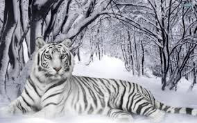 white tiger with blue eyes in snow. Modren Snow White Tigers In Snow With Blue Eyes  Google Search With White Tiger Blue Eyes In Snow T