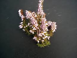 Buy Jenny Porter Heather Plants Online