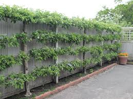 What Are The Best Fruit Trees To Grow For CordonsGrowing Cordon Fruit Trees