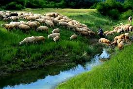 Image result for pictures of sheep grazing in green pastures
