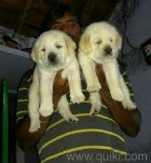 puppies available for in manikonda hyderabad pets on hyderabad quikr clifieds