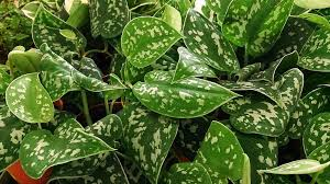 Indoor Plant Inspiration To Transform Your Space Living Room additionally Indoor Climbing Plants – How To Grow Climbing Houseplants furthermore  further Name This Plant Game  House Plants 5 also 5 Gorgeous Indoor Vines To Grow In Your Home besides The Suitable Plants For Your Terrarium at Home likewise Identification of Blooming Vine furthermore Black Eyed Susan Vines aka Heaven On Earth additionally Best Indoor Vines and Climbers That Are Easy to Grow likewise  further Stephanotis Vine Care. on house plant with vines