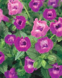 <b>Summer Wave</b>® Large Amethyst - Wishbone Flower - Torenia hybrid ...