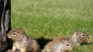homemade squirrel repellent for your yard