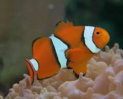 Clown Fish Identification Chart True Percula Clownfish Amphiprion Percula Orange Anemonefish