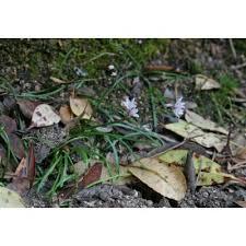 Genere Brimeura - Flora Italiana