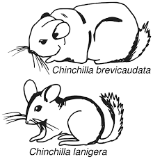 Small Picture Chinchilla coloring page Animals Town Free Chinchilla color sheet