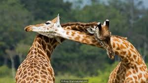Image of: Pictures View Image Of Male Giraffes Fight Using Their Necks credit Anup Shahnatureplcom Bbc Bbc Earth Giraffes May Not Have Evolved Long Necks To Reach Tall