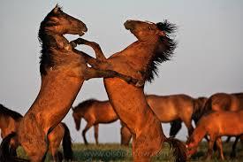 wild horses mustang fighting. Exellent Fighting Wild Horse Mustangs Battle For Horses Mustang Fighting