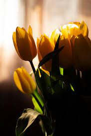 750+ Yellow Tulip Pictures