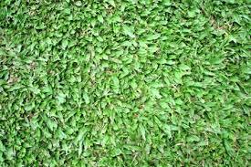 carpet grass. broadleaf or tropical carpet grass (axonopus compressus) -