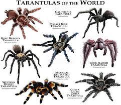 Tarantulas Of The World Poster Print Spider Species Pet