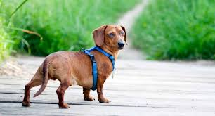 The Best Harness For Dachshund To Buy In October 2019