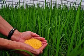 Resultado de imagen para arroz dorado transgenico