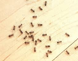 ants in bathroom. Ants In Bathroom Small Fair Design Simple Ways To Control Little O