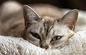 best food for diabetic cat. Best Food For Diabetic Cat? Cat-1978356_640 Cat