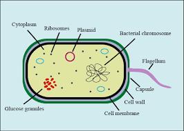 prokaryotes abacteria cl 11 biology cbse