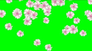 Spring Footage Video Background Nice Falling Rose Petals Video Footage For Wedding Films Wedding Intro Spring Films With Falling Petals Rose Video With Falling Petals Hd Quality Wedding Intro
