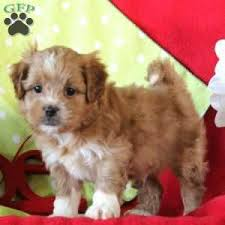 a k a poo puppy named y