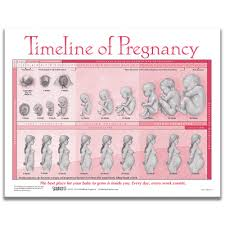 Human Fetal Growth Chart Custitem_best_seller_cg False Narrow By Childbirth