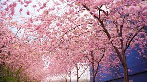 Wallpapers for Desktop Pink Tree (Page ...