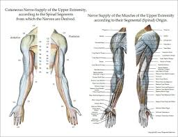 Nerve Innervation Of Upper And Lower Extremities Posters 3