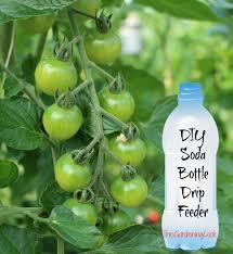 tomato plant soda bottle drip feeder