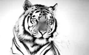 tiger wallpaper desktop. Simple Desktop White Tiger Wallpaper Widescreen White Tiger Wallpaper HD Desktop 2281   Site With P