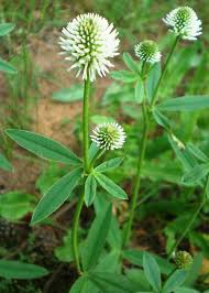 Trifolium montanum | Plants, Flora, Shrubs