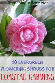 10 evergreen flowering shrubs to