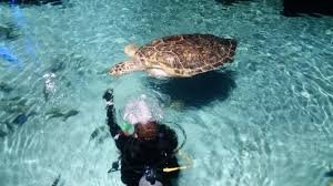 this giant turtle calypso is one of the aquarium s big stars