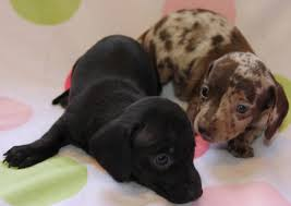 dappled miniature dachshund puppies for in co ca wa or mt