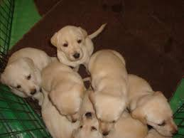 yellow lab puppies for sale. Fine Yellow Looks Like His Father Deuce Beautiful Healthy Young Pups Yellow Lab  With Puppies For Sale L