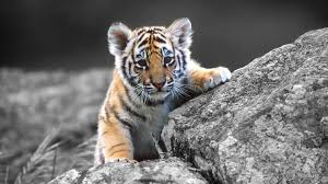 cute baby tigers wallpapers. Contemporary Wallpapers Baby White Tiger Wallpapers Wallpaper With Cute Tigers Pinterest