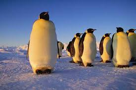 emperor penguin predators and prey. Perfect Emperor For Emperor Penguin Predators And Prey O
