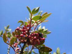 Best 25 Japanese Plum Tree Ideas On Pinterest  Japanese Flowers Plum Tree Not Producing Fruit