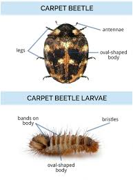 Black Beetle Identification Chart What Do Carpet Beetles Look Like Identify Carpet Beetles