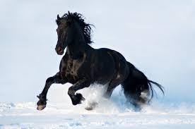 black horses in snow. Interesting Horses Black Horse  Snow Black Running Beautiful White Horse Throughout Horses In Snow