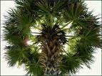 palmyra palm