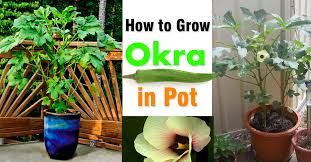 growing okra in pots how to grow okra in containers balcony garden web