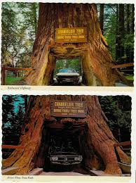 thursday september 28 2006 also on the redwood highway you can see chandelier tree drive thru tree park