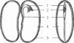 Годовая контрольная работа по биологии класс 4 Почка это1 часть стебля 2 зачаточный побег 3 завязь с семязачатками 4 черешок с листовой пластинкой