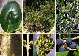 Phillyrea latifolia L. - Sistema informativo sulla flora del parco di Villa ...
