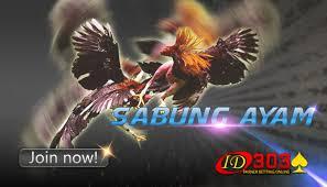 What are you waiting for? Kelebihan Sabung Ayam Peru Di Pertarungan Sabung Ayam Agenayamsabung S Diary
