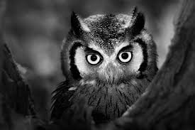 black and white animal photography. Fine And Owl On Black And White Animal Photography C