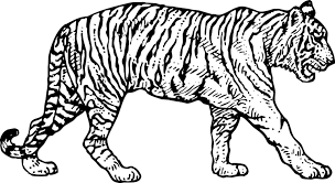 Small Picture 99 ideas pictures of tigers to colour on kankanwzcom free