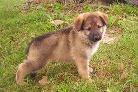 Image result for german shepherd puppies